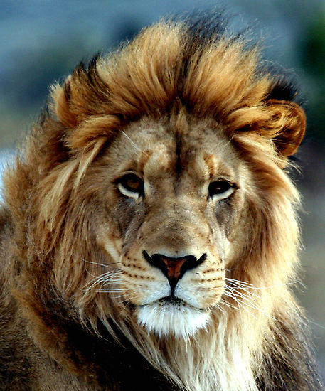 There are lions and wolves among us … | The Great Apostasy